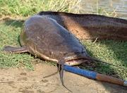 СРОЧНО ПРОДАМ СОМ ОПТОМ по 385 тенге за 1 кг. - Рыба,  морепродукты